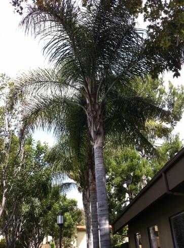 Palm Tree in Irvine, California
